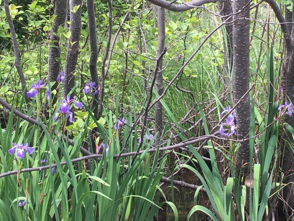 July 18 Wild Iris on Michipicoten Island