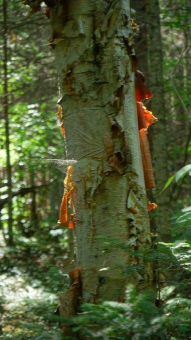 July 20 Birch tree along the path