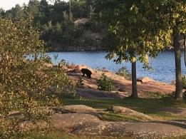 September 5 A teenage bear cruising through the Killarney Mountain Lodge grounds