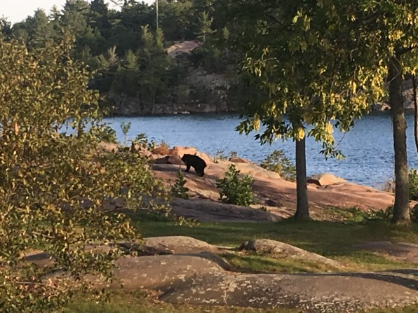 September 5 A teenage bear cruising through the Killarney Mountain Lodge grounds
