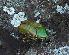 August 14 Weird green bug on Armour Island