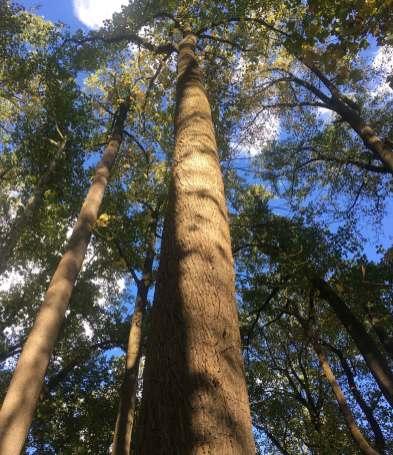 Oct 24 Huge pines near Ellicott City MD