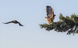 Oct 30 Crow vs Hawk