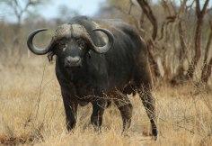 The Big Five: Buffalo