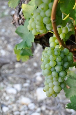 Sauvignon Blanc grapes always seem to be packed tightly together.