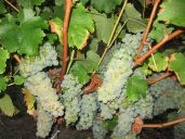 Sauvignon Blanc about to be harvested in the dark.