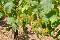 Merlot young vines, Ch L'Evangile 12 June 2013