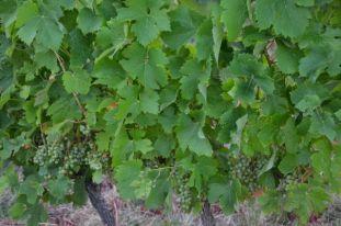 Sauvignon Blanc grapes before the hail