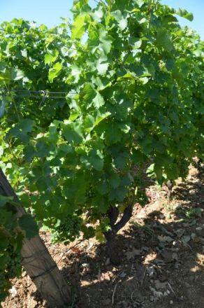 Despagne's Sauvignon Blanc before the hail