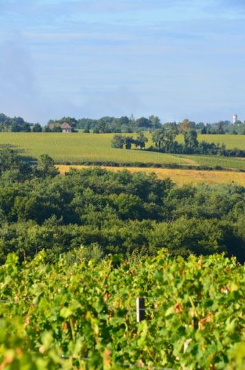 Green vines at Bauduc in foreground, 50% loss, facing hill had close to 100% loss