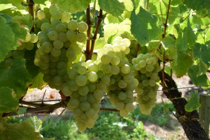 Semillon destined for Crémant
