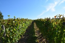 The rows are 1.80 metres wide, with 5500 vines per hectare