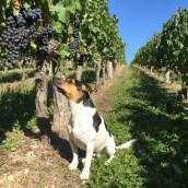 2015-Bauduc-start-of-red-harvest-05