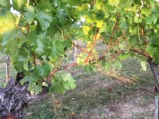 2015-Bauduc-white-harvest-15