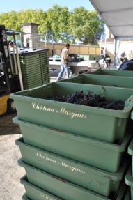 Grapes coming to the winery.