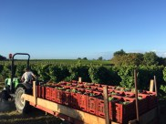 Bauduc 2016 harvest - hand picked white. Semillon for our sparkling crémant.