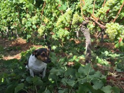 Bauduc 2016 harvest - hand picked white. Pavie the hound with Semillon for our sparkling crémant.
