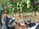 Margaux and Pavie, Sauvignon Blanc