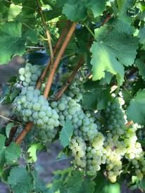 Sauvignon Blanc, 28 August