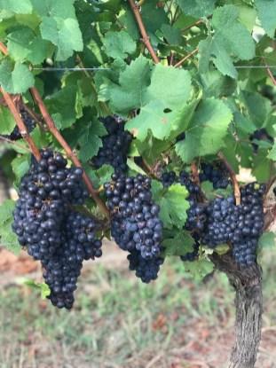 Pinot Noir, 12 August