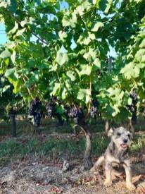 Pinot Noir, 3 August