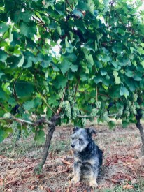 Riesling, 28 August