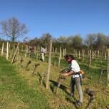 Attachage - tying the vines