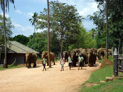 Elephants Going For A Bath