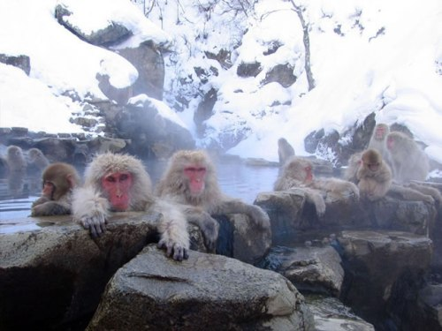 Snow Monkeys Relaxing In The Hot Springs