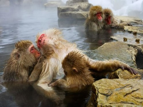 Macaques Monkeys At The Hot Springs, Japan