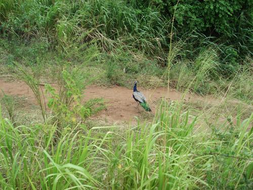 Wild peacock roaming around