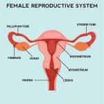 Ketahui Alat Reproduksi Wanita Beserta Fungsinya