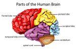 Ketahui Bagian-bagian Otak Manusia dan Fungsinya
