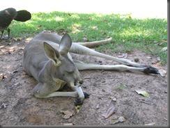 Australia Zoo Kangaroo 087 (5)