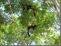 Australia Zoo red pandas 117 (1)