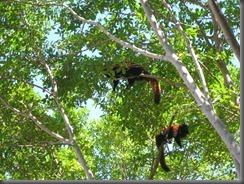 Australia Zoo red pandas 117 (2)