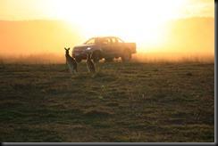 Colorado sunset kangaroo (1)
