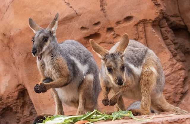 Living Desert Australian Adventures Wallabies