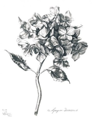 Small Dried Hydrangea