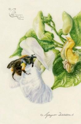 'Bean here before' Bombus pascuorum bee on Runner beans