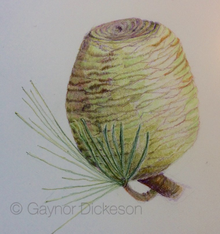 Deodar pine cone in coloure pencil: a really difficult subject well done.