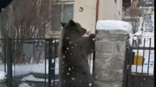 video/-tot-mai-multi-ursi-isi-fac-aparitia-in-gospodariile-oamenilor