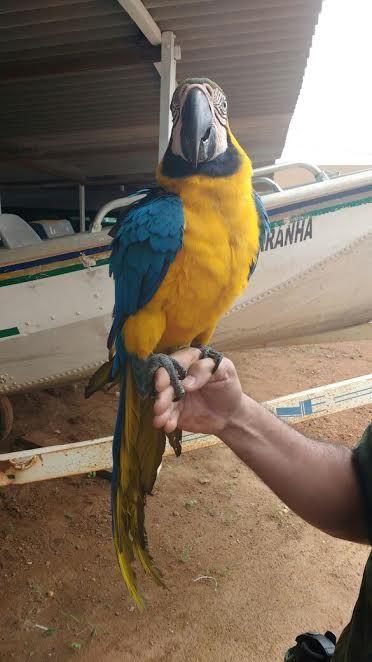 A arara será encaminhada ao Centro de Triagem de Animais Silvestres em Araguaína.