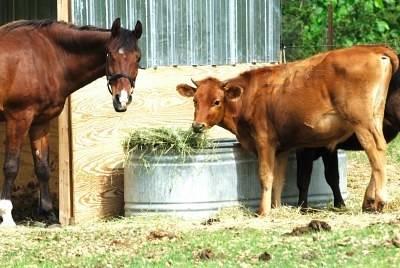 Miting original la Comarnic : DN1 blocat de vaci şi cai