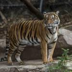 Caz şocant în Copenhaga: un tânăr s-a aruncat în cuşca tigrilor şi a fost sfâşiat