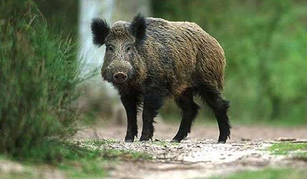Cinci porci mistreţi găsiţi morţi. Animalele au fost otrăvite
