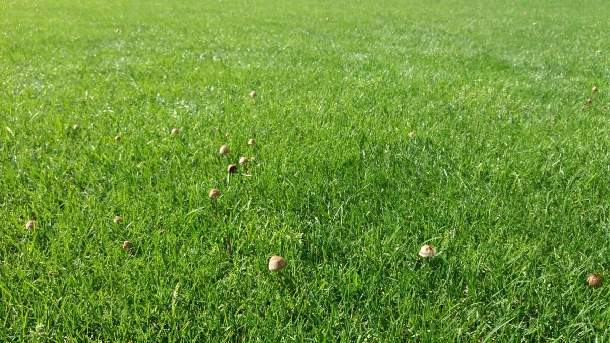 Ilie Oana, ciuperci crescute dupa ploaie pe gazon - vizita inspectiei UEFA, republikanews.ro