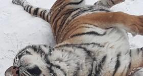 Cum se bucură tigrul de la Zoo Bucov de zăpadă