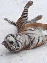 tigru zoo bucov 2
