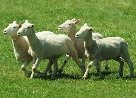 Ciobanul hoț de oi. I-a dat de urmă… câinele